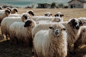 An image of a flock of sheep in a field